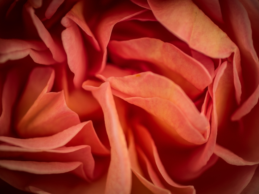The perfume of this rose was delicious!