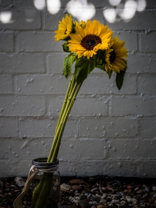 Sunflowers and jar
